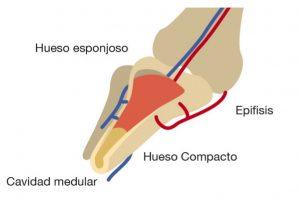 anatomia intraosea