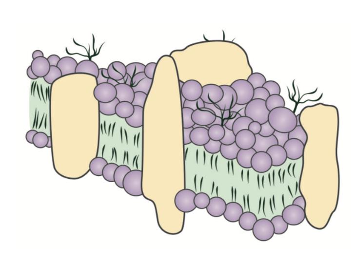 esquema de membrana celular